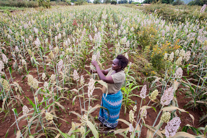 Loise Muriithi, 42, harvests sorghum at her farm in Tharaka North Sub County, Kenya, on 19th July 2016. Thanks to the higher price per kilo she gets from selling her grain through the Mukothima Grain Aggregation Centre, Loise has educated her two children, built a brick house and purchased a Land Rover that her husband uses when going to work. The Mukothima Grain Aggregation Centre was set up with the help of Agra.
