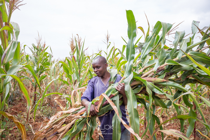 Nzioka Kivanga, 29, harvests maize from his farm in Machakos County, Kenya, on 20th July 2016. Since he started planting drought-resistant seed from Dryland Seed Company, Nzioka has seen his harvests increase. He is now able to support his wife and 3-year-old daughter, and has even built a brick house from the proceeds from sale of continuous bumper harvests.