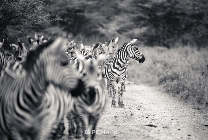 Zebras in Nairobi National Park on 11th August 2017.