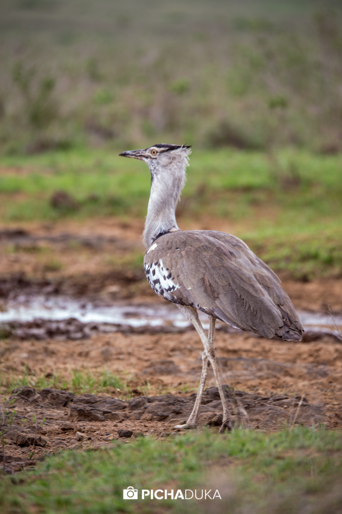 A cory bastard in Nairobi National Park on 25th October 2017.