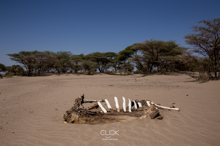 Cattle carcass in North Horr, Marsabit County, on 19th September 2017.