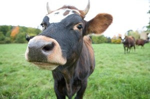 Blue Hill Cow