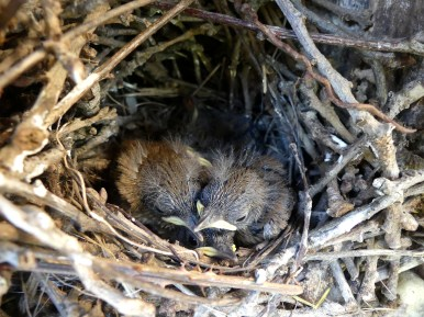 House Wren nest with chicks