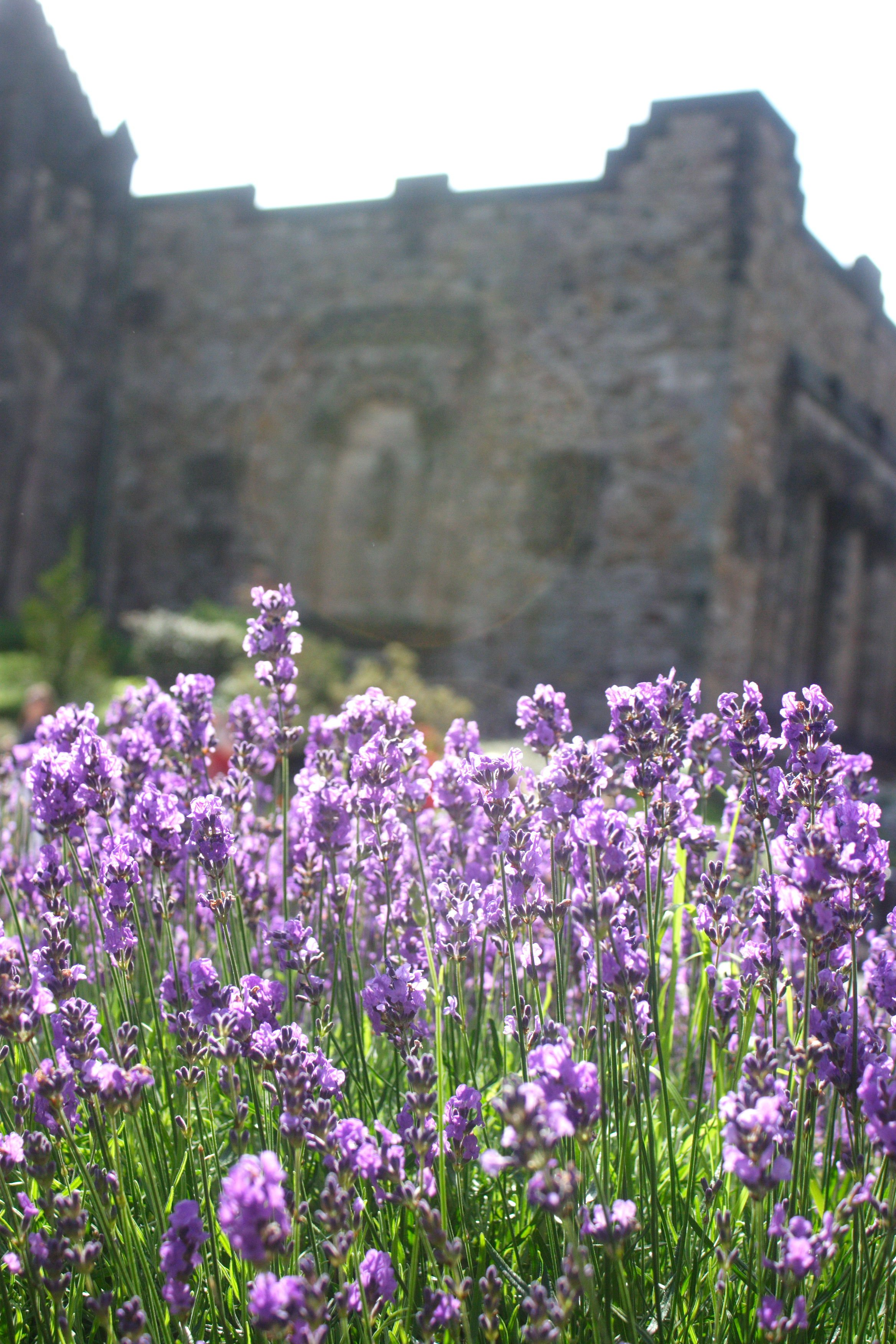 Lavender at Edinburgh Castle