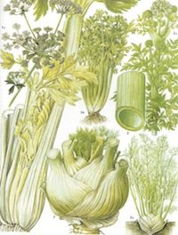 celery-botanical-drawing