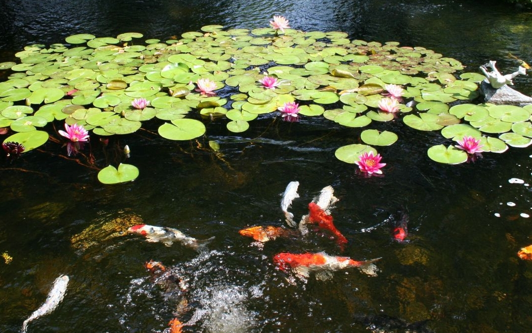 pond with water lilies and koi fish