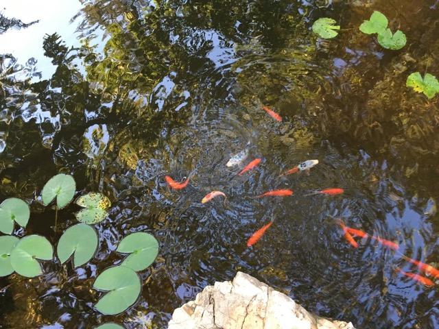 pond with koi fish