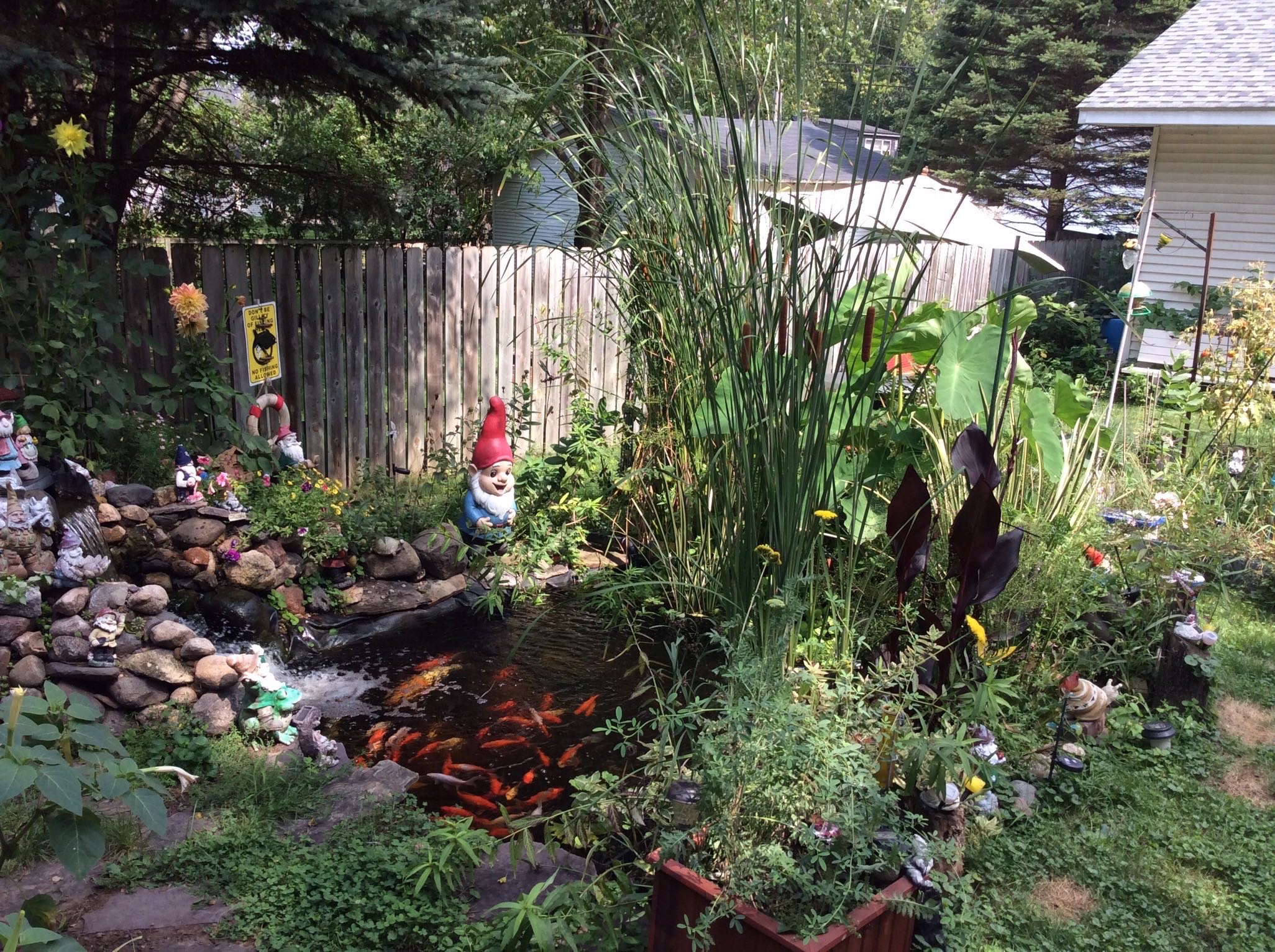 backyard pond with koi fish