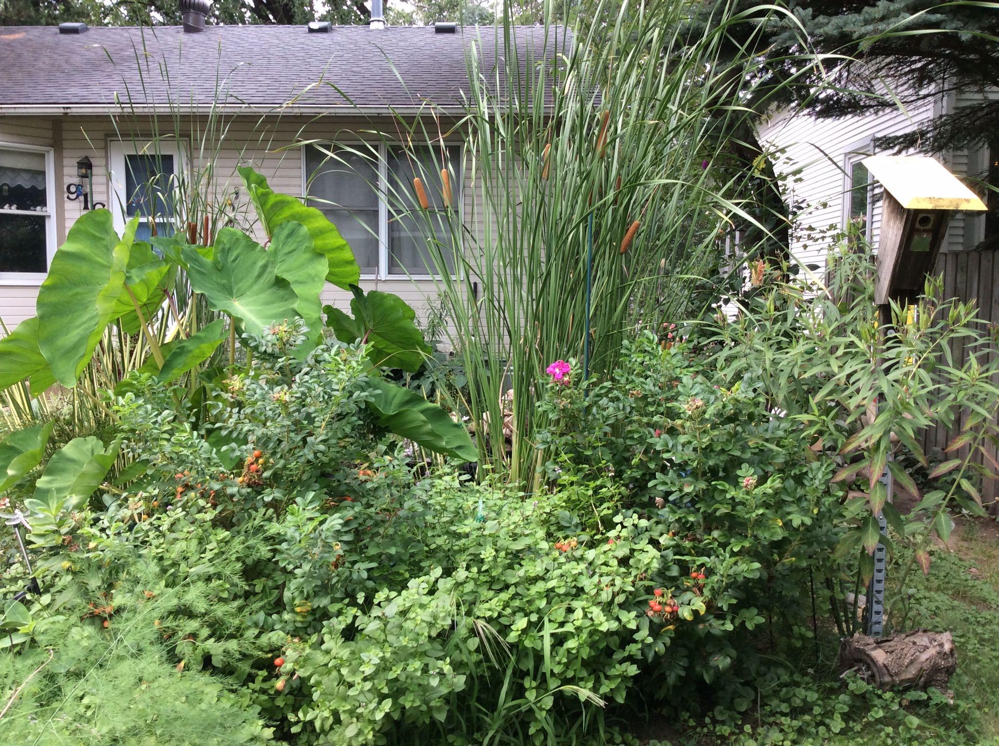cattails in garden