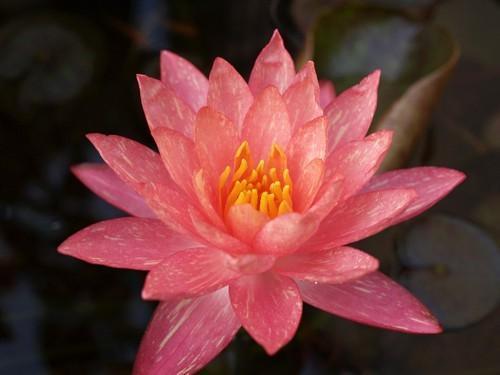 Waterlily Wanvisa blossom