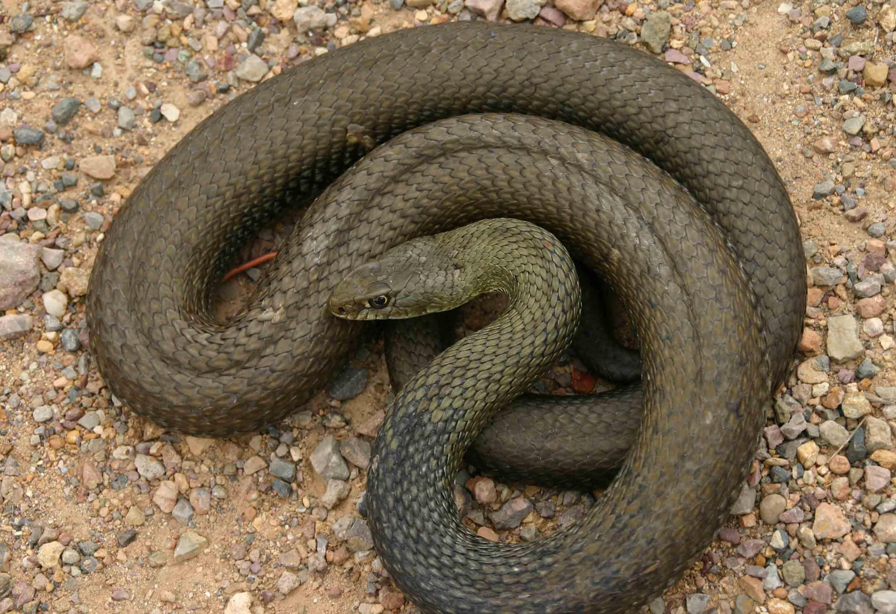 Big Montpellier snake (Malpolon monspessulanus) of nearly two metres
