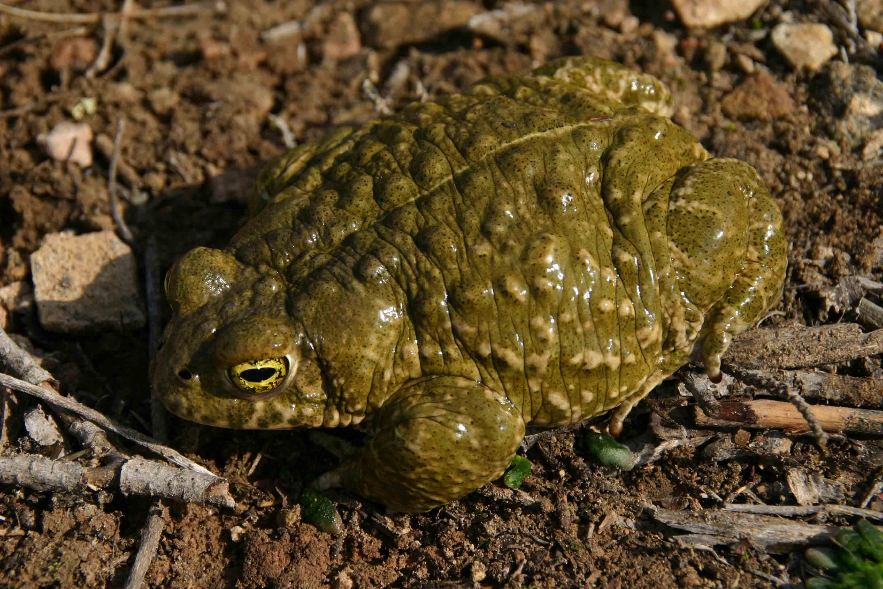 One of two huge Natterjacks found beneath a stone slab
