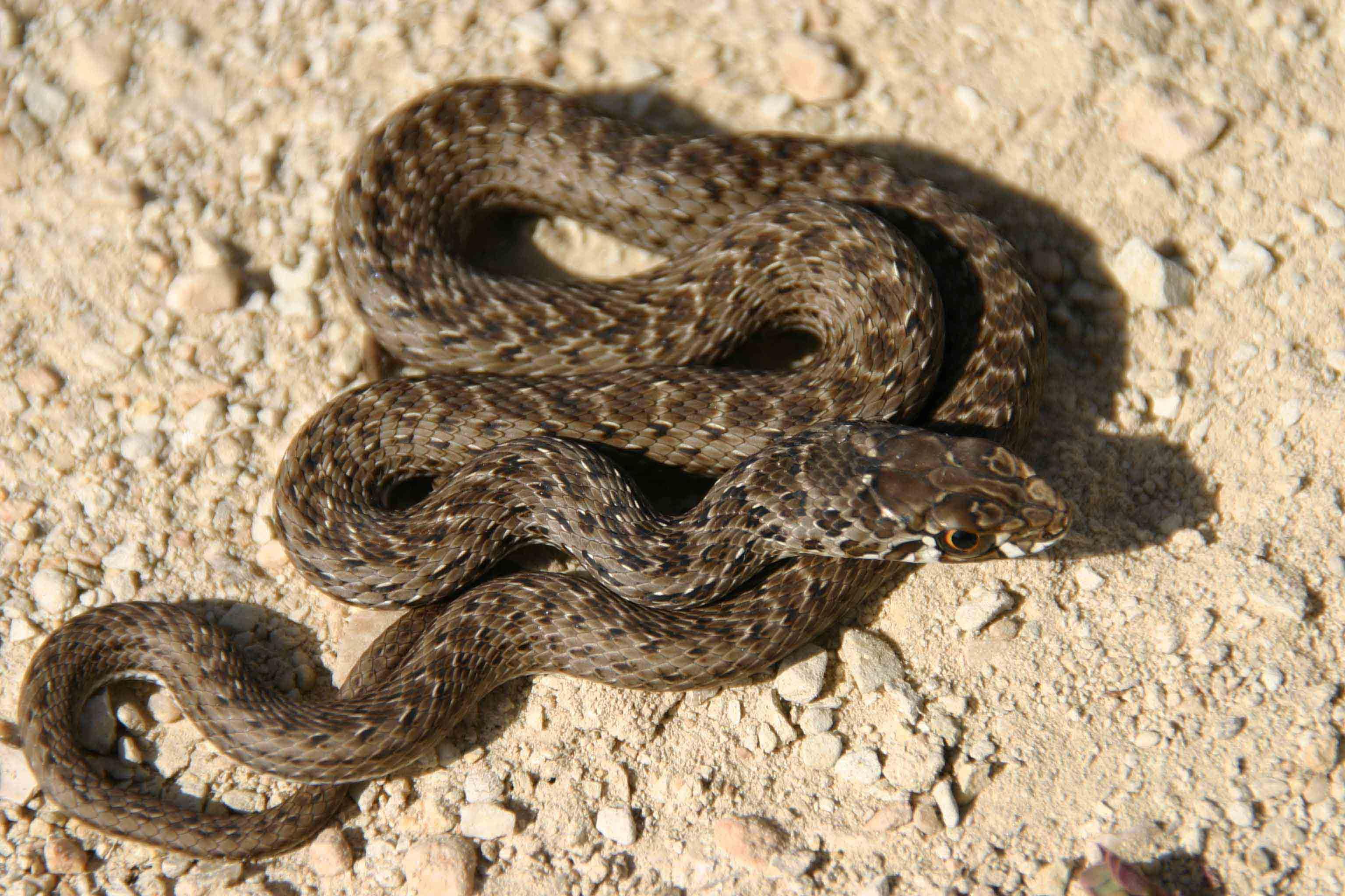 After missing a big Horseshoe whipsnake I caught this juvenile Montpellier snake (Malpolon monspessulanus)
