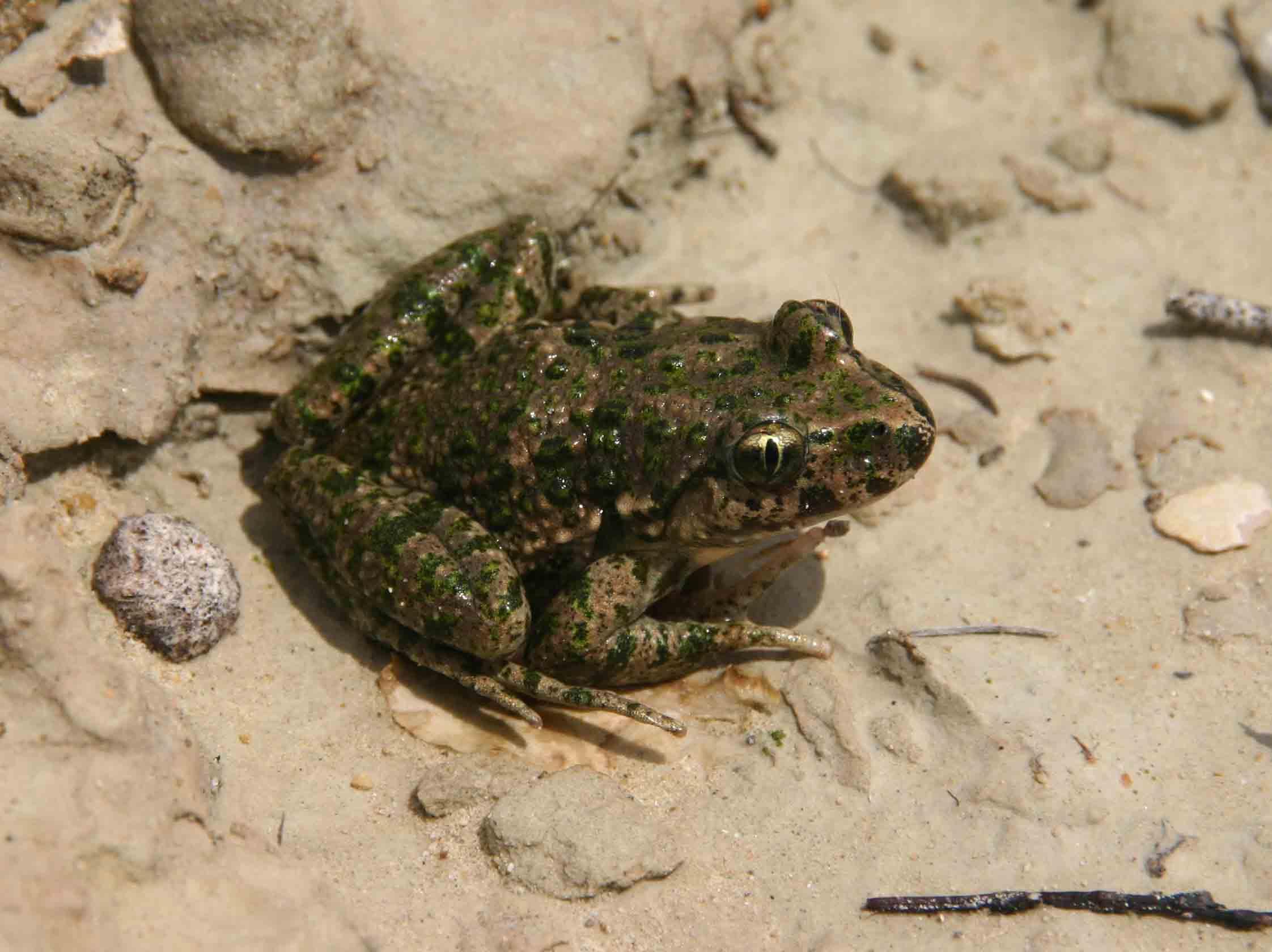 Parsley frog (Pelodytes punctatus)