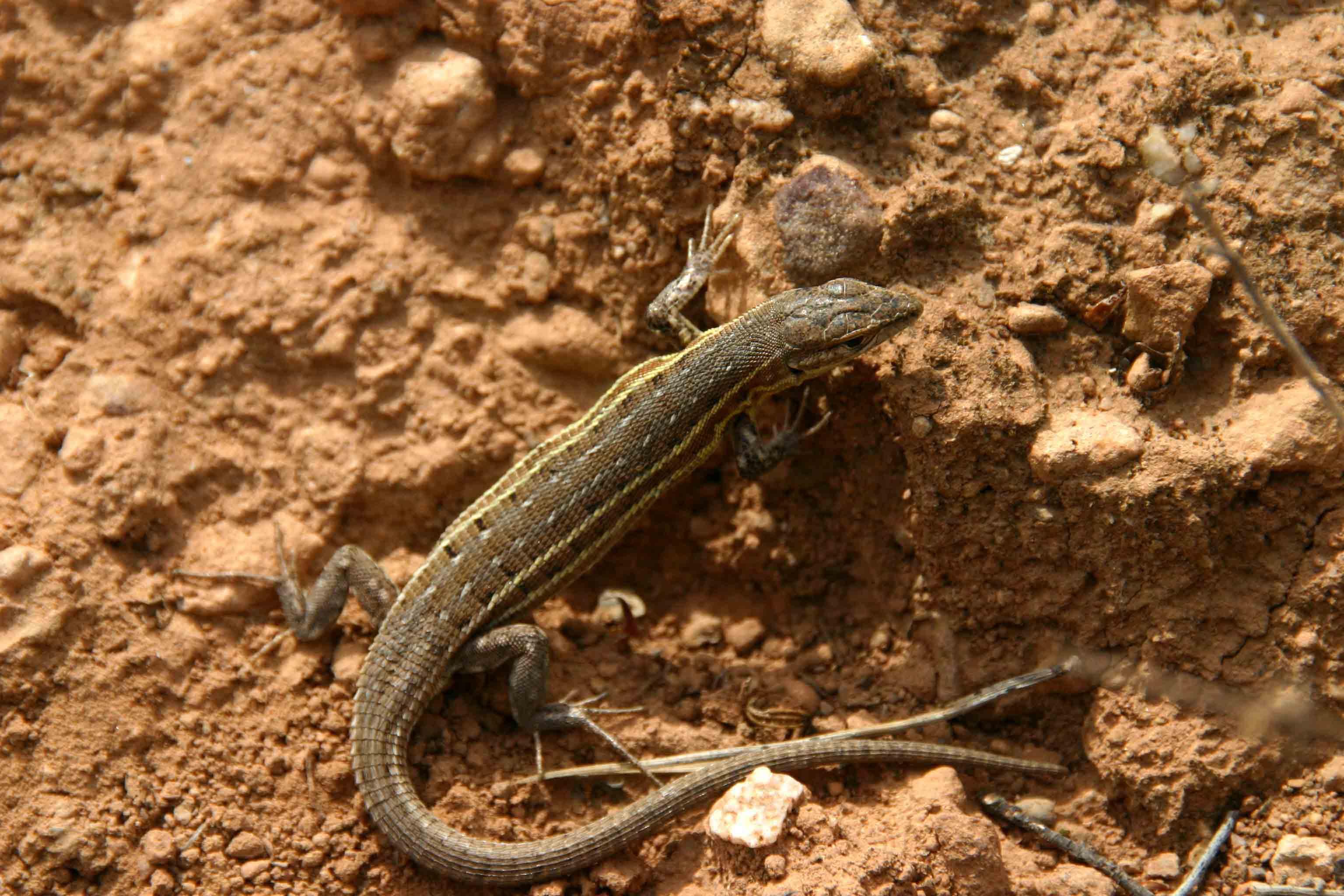 Spanish psammodromus (Psammodromus hispanicus)
