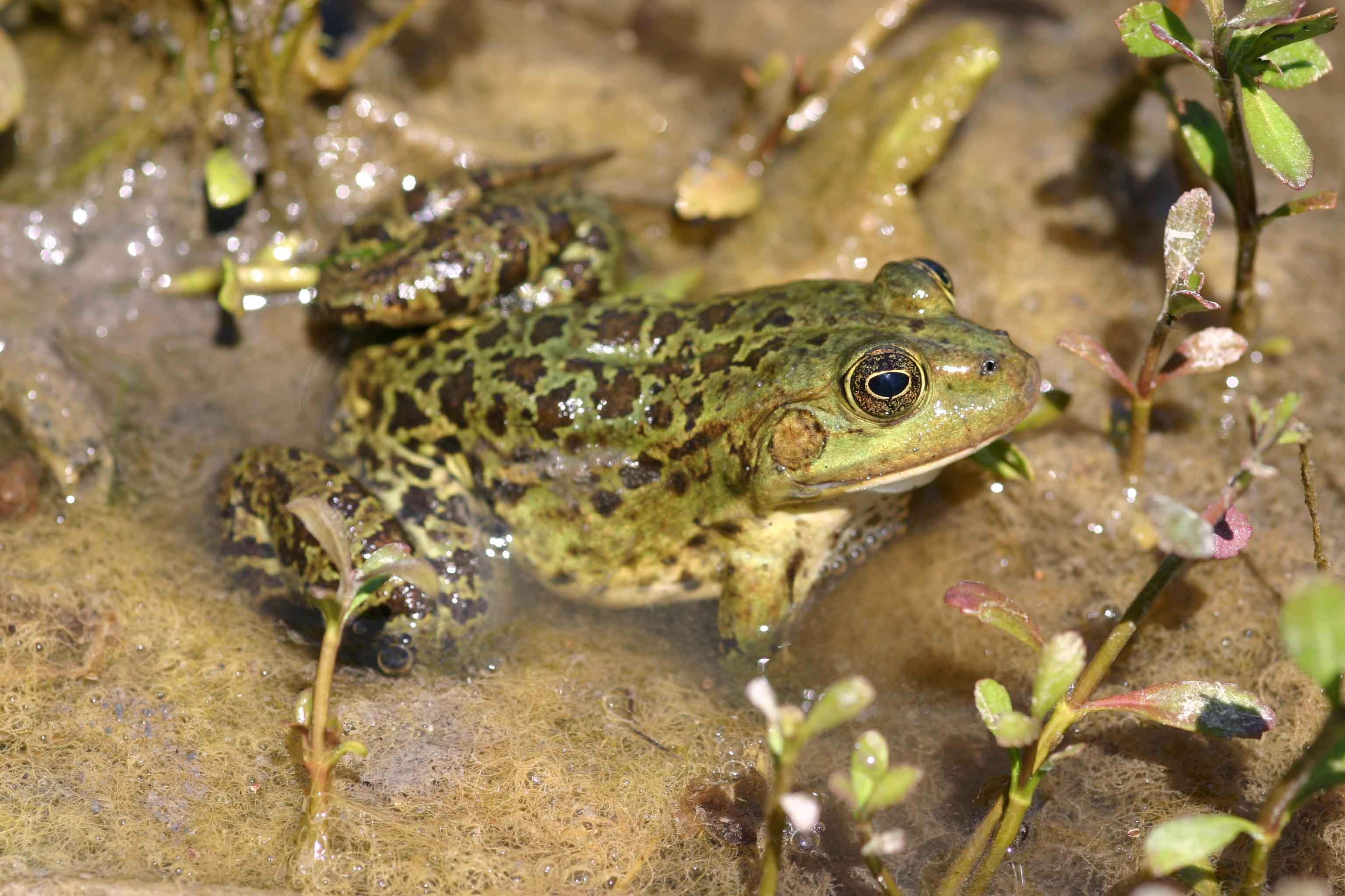 Marsh frog (Rana ridibunda) the most common amphibian on Corfu