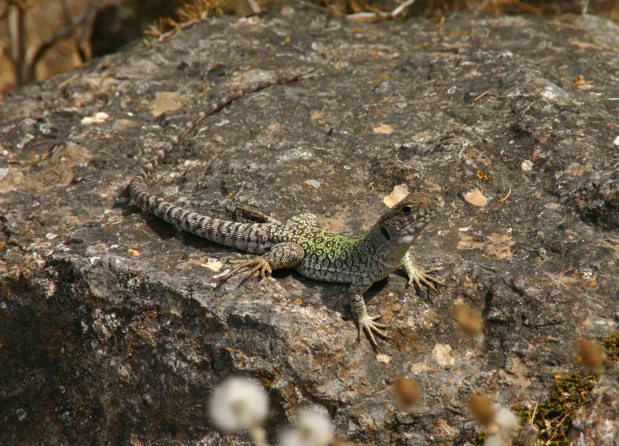Sub adult Ocellated lizard (Timon lepidus)