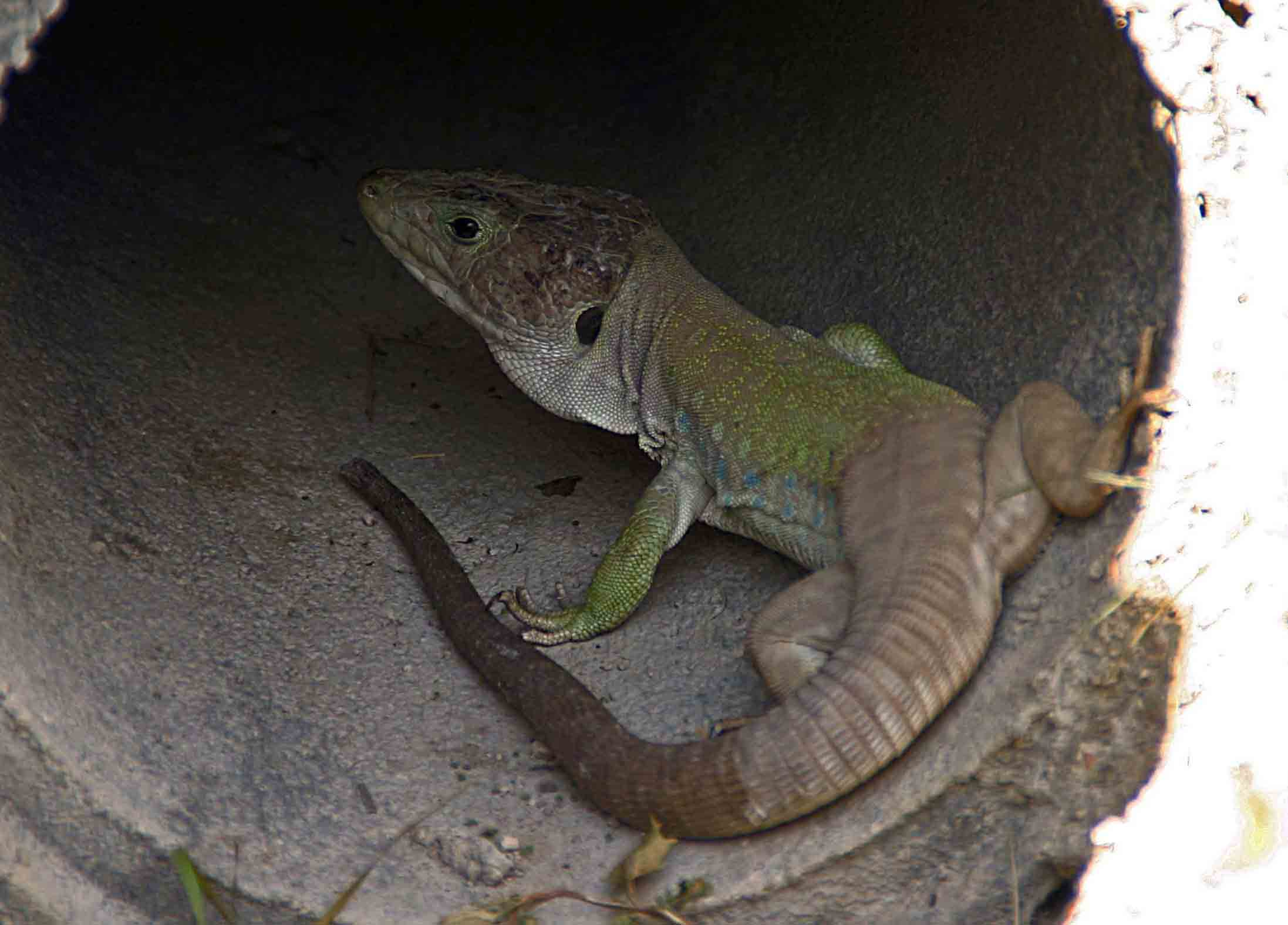Home to the largest lizard in Europe: Ocellated lizard (Timon lepidus)