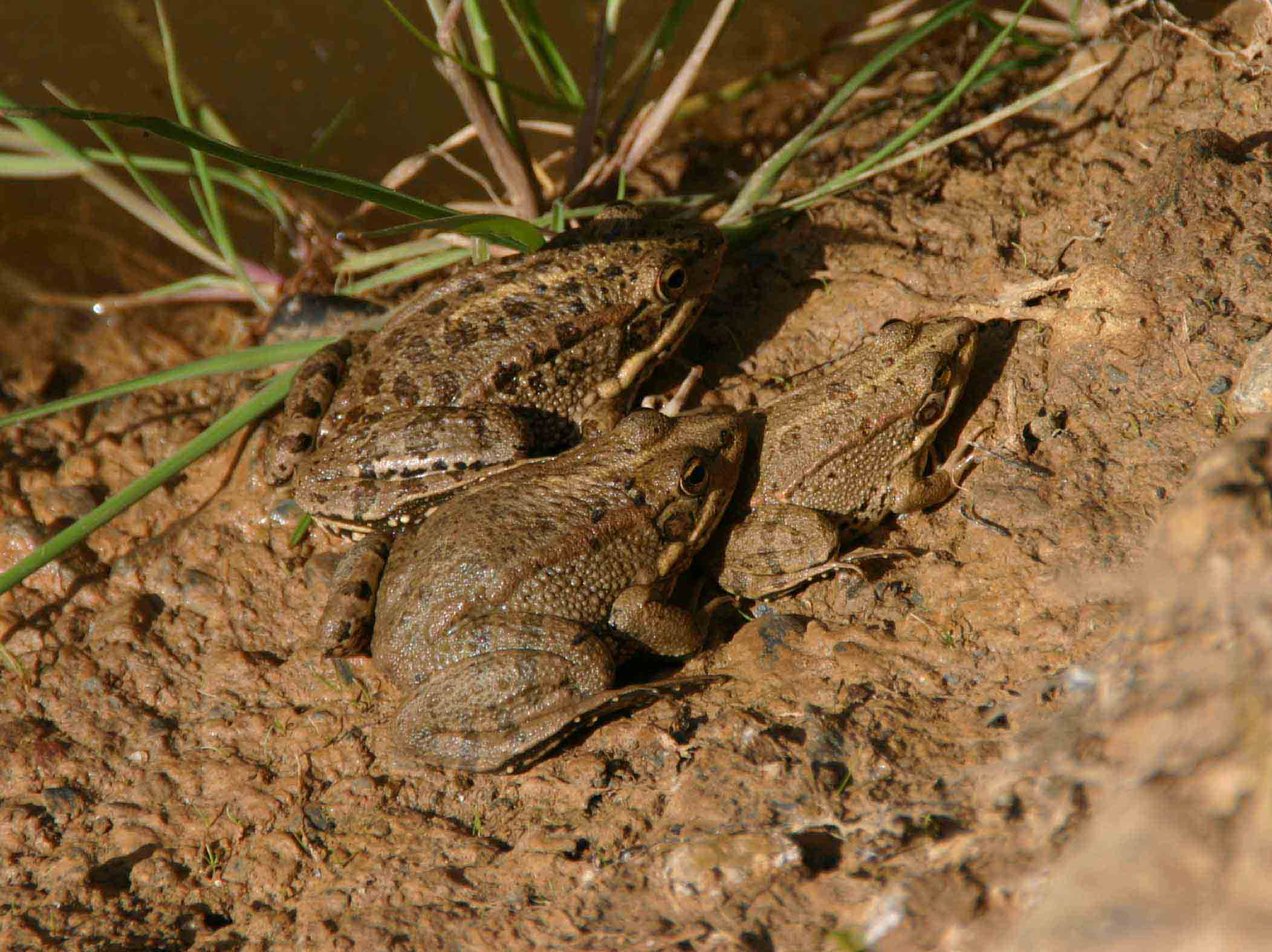 Family of water frogs (Rana perezi)