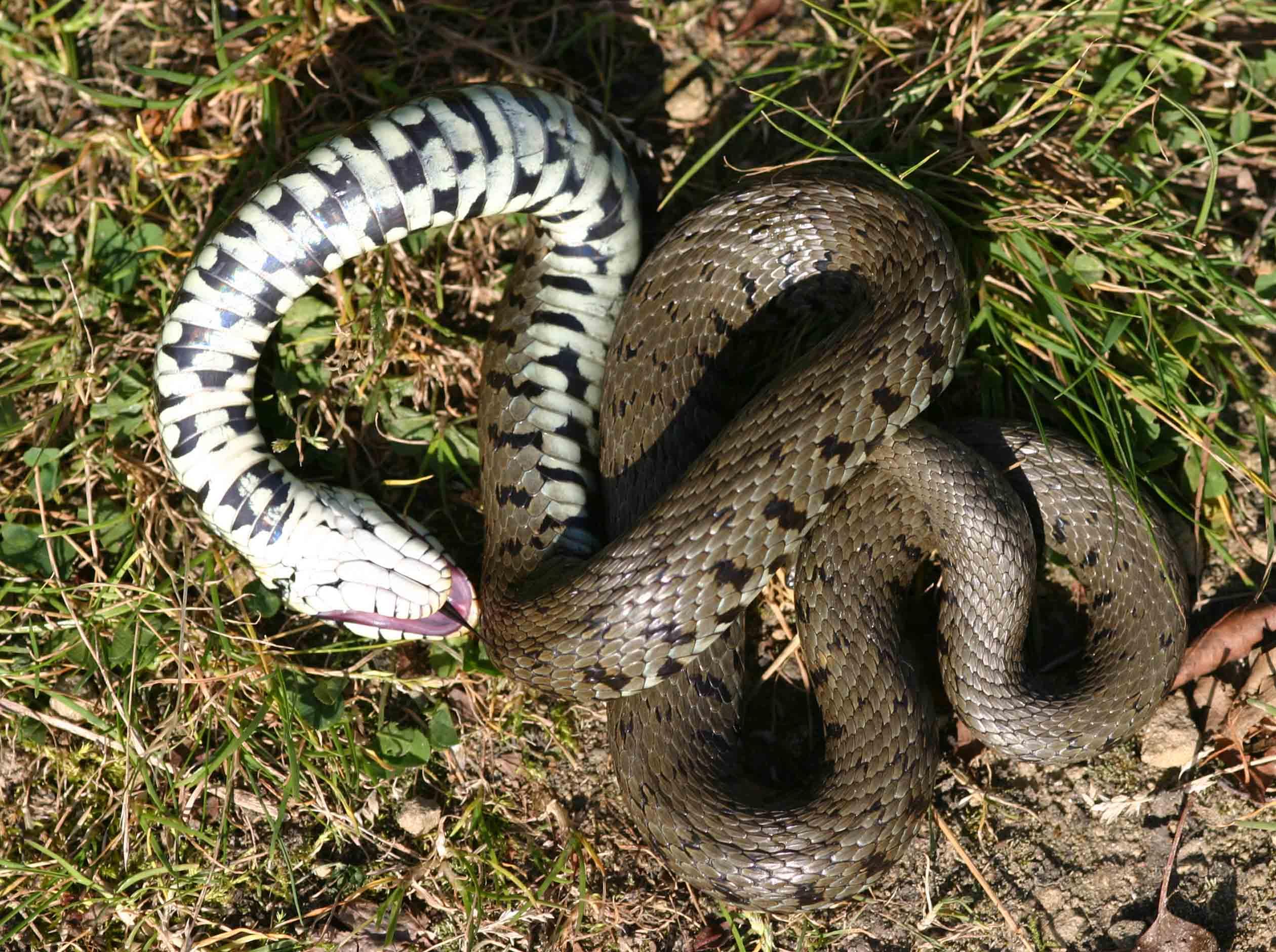 Grass snake (Natrix natrix) feigning death