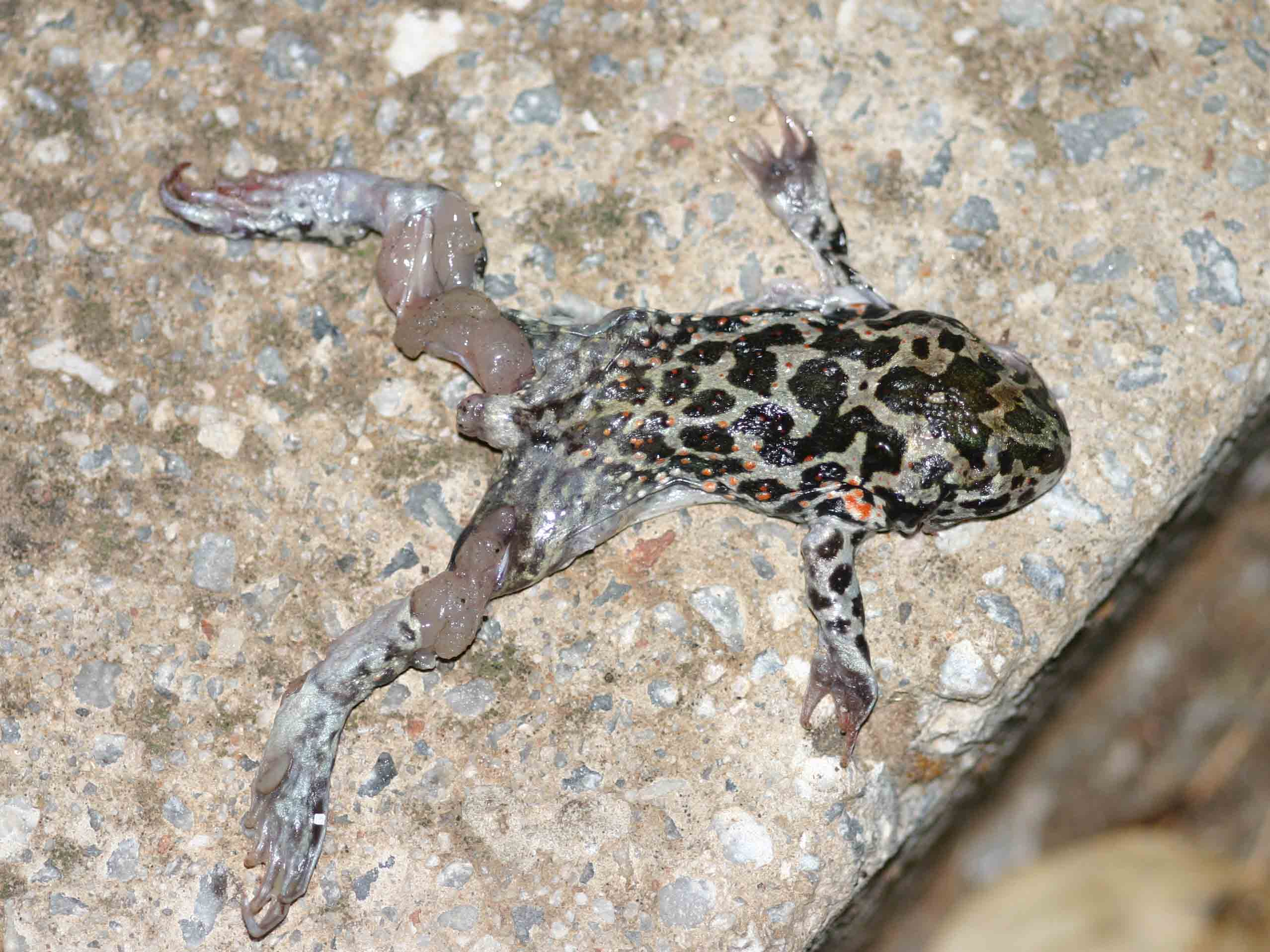 My only Eastern Spadefoot toad (Pelobates syriacus), just killed before I could get there