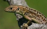 Green lizard (Lacerta viridis) Dadia forest, Greece (C) Matt Wilson