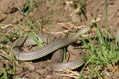Montpellier snake (Malpolon insignitus), Zakynthos, Greece (C) Matt Wilson