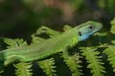 Green lizard (Lacerta viridis) Corfu, Greece (C) Matt Wilson