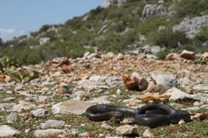 Black whip snake (Dolichophis jugularis), Greece (C) Matt Wilson