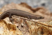 Pygmy algyroides (Algyroides fitzingeri), Corsica