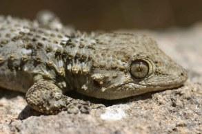 Moorish gecko (Tarentola mauritanica) Majorca, Spain (C) Matt Wilson