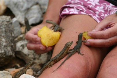 Lilfords wall lizards (Podarcis lilfordi) Sa Dragonera, Majorca, Spain (C) Matt Wilson
