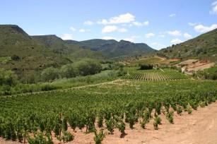 Vineyard, Paziols, S France (C) Matt Wilson