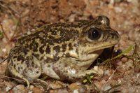 Western Spadefoot toad (Pelobates cultripes) (C) Matt Wilson