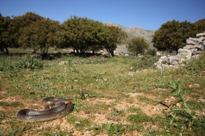Caspian whip snake (Dolichophis caspius) (C) Matt Wilson