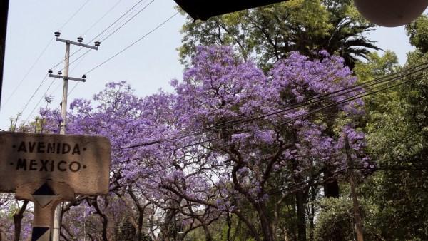 Jacarandas en flor en el Jardín España, en la colonia Condesa