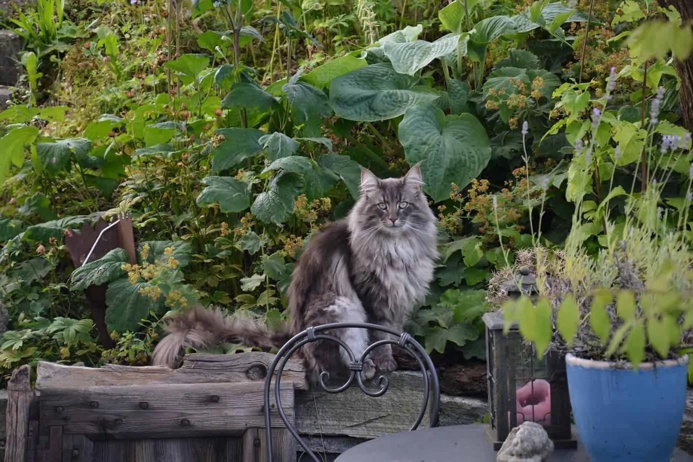 Le chat norvégien de forêt – un portrait de race