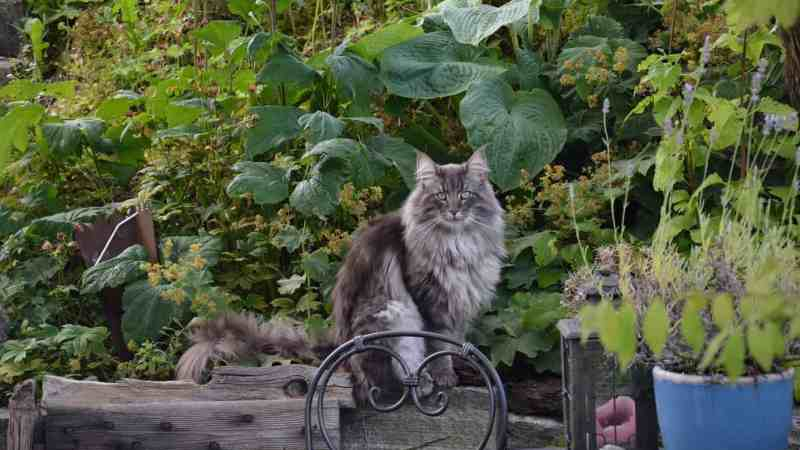 The Norwegian Forest Cat – a breed portrait