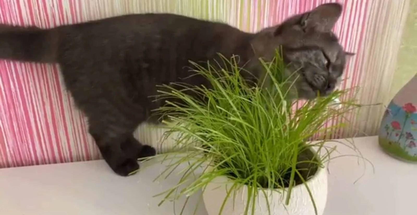 ¿Mi gato necesita hierba de gato?