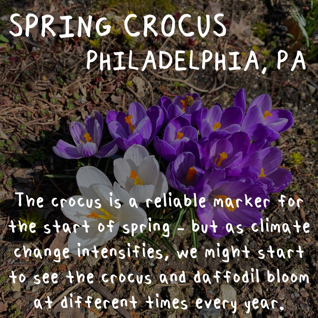 crocuses in bloom. as climate change intensifies we might start to see them bloom at different times every year.