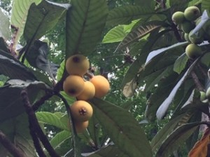 Yellow fruit on a tree with green leaves.