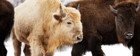 Rare white bison now resides in a Missouri canyon