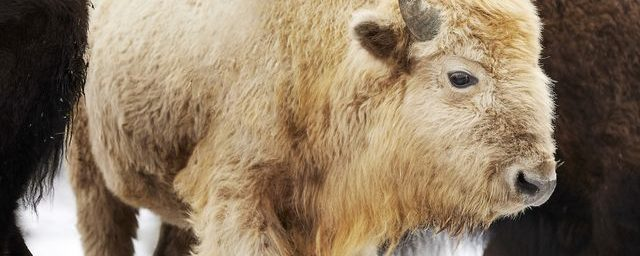 Learn About the Rare White Bison in Missouri's Dogwood Canyon Park