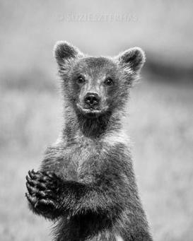 Grizzly Bear Ursus arctos 4-6 month old cub (s) Katmai National Park