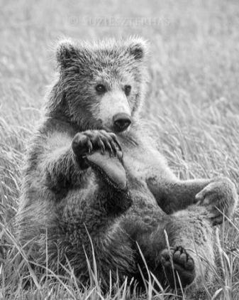 Grizzly Bear Ursus arctos Playful 2 year old cub Katmai National Park