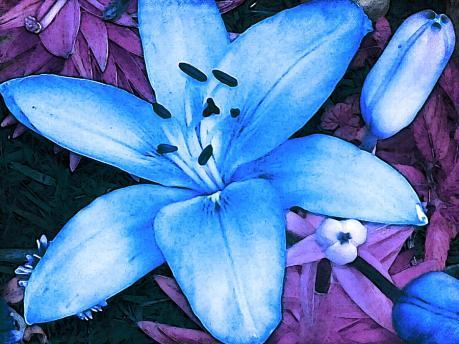 blue-asiatic-lily-shawna-rowe
