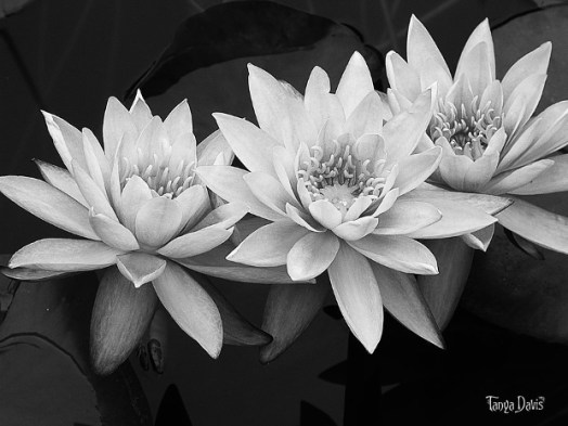 Black-and-White-Lotus-Flower-Photography-