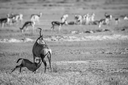 76702904-suckling-baby-red-hartebeest-in-black-and-white-in-the-kgalagadi-transfrontier-park-south-africa-