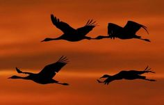 Migrating cranes fly during the sunset near Straussfurt, central Germany, on Friday, Oct. 21, 2011. (AP Photo/Jens Meyer)