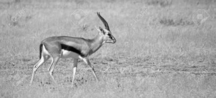 87840550-black-and-white-thomson-gazelle-from-serengeti